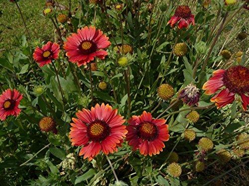 Rote Kokardenblume Gaillardia aristata 'Burgunder' 50 Samen