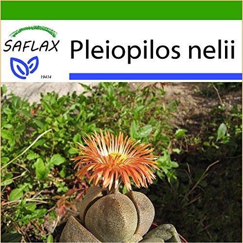 SAFLAX - Sukkulenten - Lebender Granit - 40 Samen - Mit keimfreiem Anzuchtsubstrat - Pleiospilos nelii