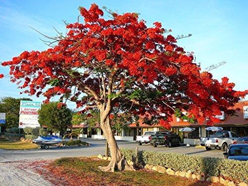 Royal Poinciana Delonix flamboyán de semillas 20 semillas exótica flor roja