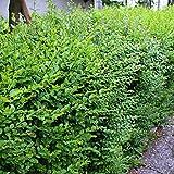 Ligustrum sinensis – chinensis (Ligustro) [Vaso 2 Litri]