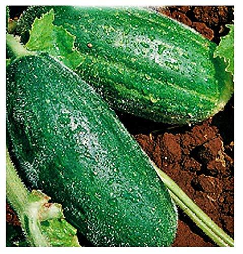 Graines carrousello spuredda leccese - fruits - cucumis melo var - caroselli leccesi - adzhur - les meilleures graines de plantes - fleurs légumes - rares - 180 graines environ - excellente qualité