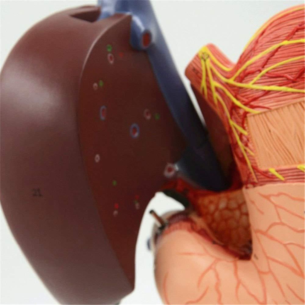 Estómago Humano Hígado Vesícula Biliar Páncreas Duodeno Modelo del Estómago Sistema Gastroenterología De órganos: Amazon.es: Hogar