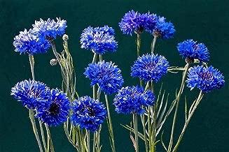 Dwarf Bachelor Button Seeds - Cornflower, Centaurea Cyanus - - 1000 Seeds by Seeds2Go