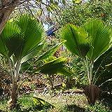 semi 1pcs sago palma cycas revoluta tropical facile da coltivare semi cycad bonsai per i semi casa giardino bonsai