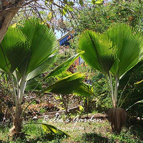 1pcs Sago Palm graines d'arbres Cycas revoluta Tropical Facile à cultiver Cycas graines Bonsaï Pour jardin graines Bonsai