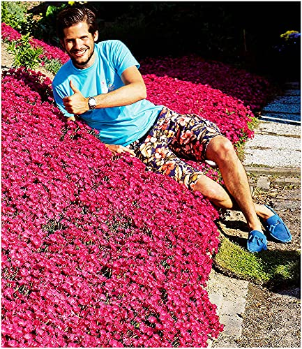 BALDUR-Garten Winterhart Bodendecker-Nelke Vivid®, 3 Pflanzen Dianthus Polsterstaude Gartennelke