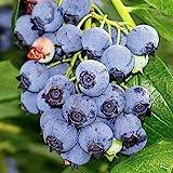 """Blueray Blueberry Plant - 20 Pounds of Berries per Bush - 2.5"""" Pot"""