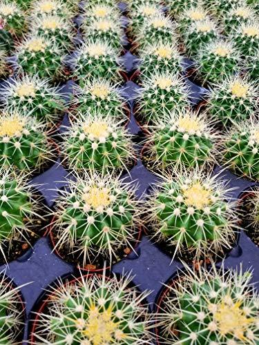 Echinocactus grusonii Golden Barrel Cactus 3.5 by Garden America