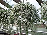 40 White Bacopa Seeds - Perfect Flowers for Hanging Baskets and windowboxes!