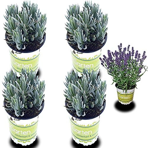 4 Lavendel-Pflanzen: Lavendel-Pflanze im...