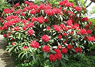 jean marie rhododendron