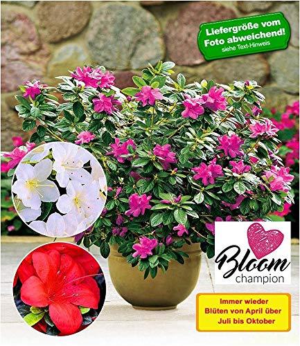 BALDUR Garten Durchblühende Azaleen Bloom Champion 3 Farben;3 Pflanzen Rhododendron winterhart