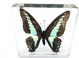 Real Butterfly Specimen Specimens Paperweight Paperweights Collection Display(3x3x0.6