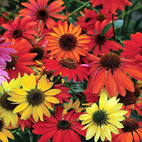 GETSO Samen Echinacea - Cheyenne Spirit - Perennial Sonnenhut - 30 Samen ???
