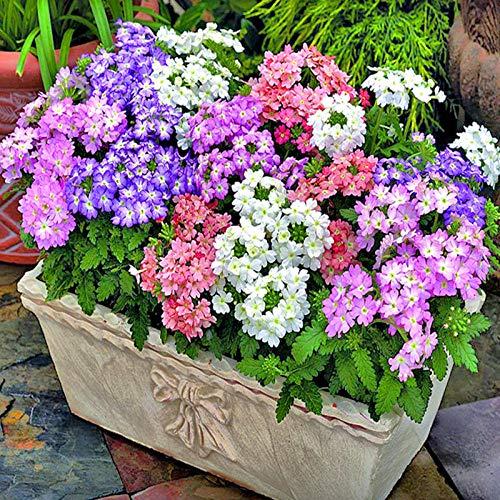 XINDUO Blumensamen mehrjährig,Mischfarbe Outdoor Pflanze Schönheit Primel Samen-0,25 kg,Balkonkasten Samen