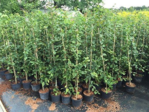 Hainbuche carpinus betulus, Buchenhecke...