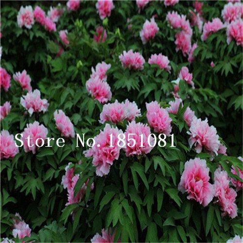 graines de fleurs japonaises Graines de pivoine, Paquet professionnel, 10 graines / Pack, Belle