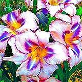 Cushy graines: 100 Plantes de Fleur de lys Belle Fleur bonsaï plantas Arbre décoration d'intérieur et à l'extérieur Porte Jardin Fleuri: dy