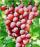 BALDUR-Garten Kernlose Tafel-Trauben 'Vanessa' Weinreben rot, 1 Pflanze, Vitis vinifera Weintrauben kernlos