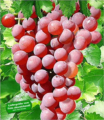 BALDUR-Garten Kernlose Tafel-Trauben 'Vanessa®' Weinreben rot, 1 Pflanze, Vitis vinifera Weintrauben kernlos