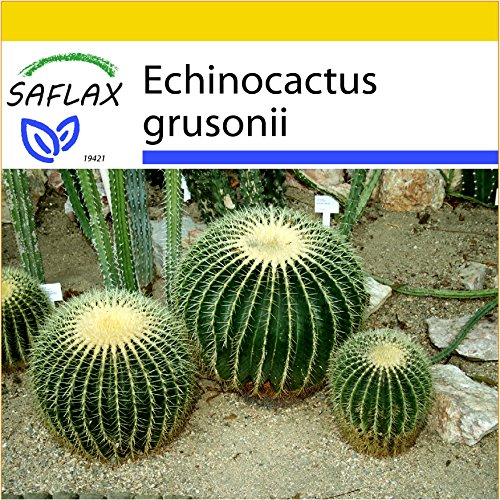 SAFLAX - Kit de culture - Coussin de belle-mère - 40 graines - Echinocactus grusonii