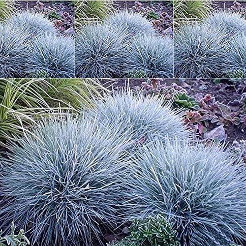 Elwyn 15pcs Max Max 47% OFF 68% OFF Blue Fescue Grass Plant Seeds