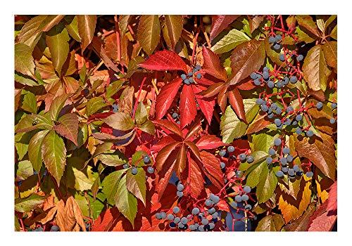 """Wilder Wein 2 Töpfe (Parthenocissus quinquefolia)""""Eine wunderschöne Kletterpflanze"""""""