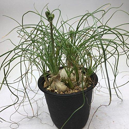 多肉植物:アルブカ フミリス M*葉幅20cm