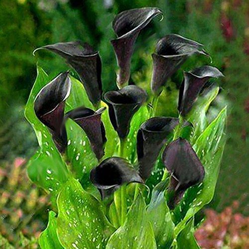 Inovey 50 PCs Calla Lily Seeds Tropic verschönern Pflanzen Garten Blumen mehrjährige Lilie Samen - Schwarz