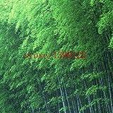 Semillas SwansGreen 20Pcs/Negro Bolsa de bambú, muy raro perennes plantas de bambú Phyllostachys...