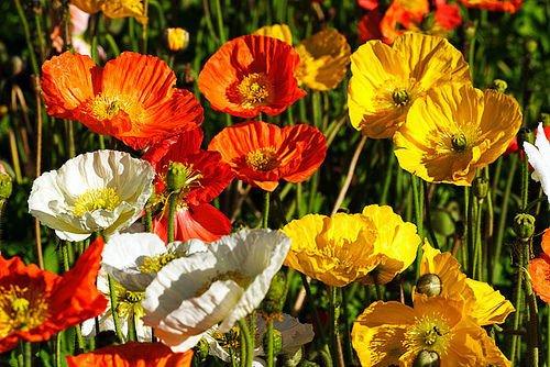 Graines de fleurs pavot d'Islande Mix Rose Jaune Crème Rose Orange Blanc et Bicolors usine de décoration de jardin libre 50 PCS P56