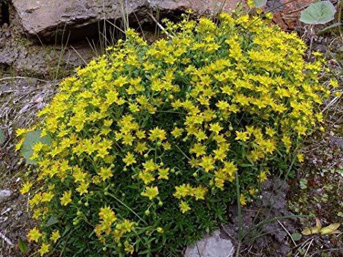 Portal Cool 20 Saxifraga aizoides Samen, Yellow Mountain Steinbrech oder gelb Steinbrech