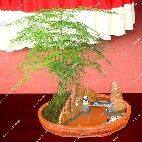 30 Pcs / Graines Sac asperges vertes Fern plantes d'intérieur Perennial Petit Bamboo Garden Home Bonsai