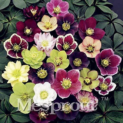 Semi di fiori Ponak Nuova 100PCS Elleboro per il giardinaggio bella multi-color
