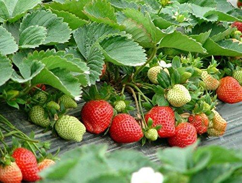 100pcs. Les légumes et les graines de fruits graines de fraise rouge grimpa Bonsai plantes Semences pour la maison et le jardin