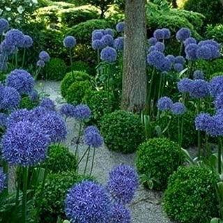 100Pcs Giant Onion Seeds Allium Giganteum Flower Plant Home Garden Bonsai Decor for Home Use - Blue Purple Giant Onion Seeds