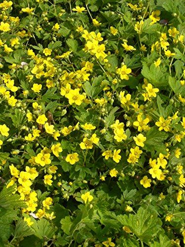 Waldsteinia geoides - Polsterbildende Waldsteinie