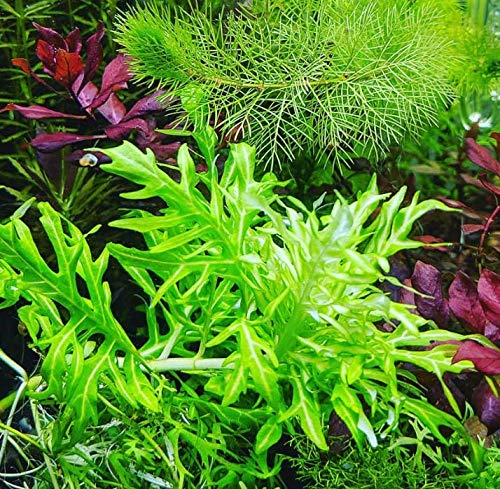 Hygrophila Difformis Water Wisteria Potted Freshwater Live Aquarium Plant Fish Tank by Greenpro