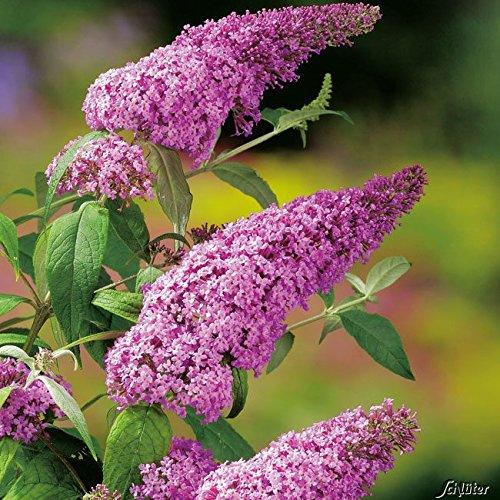 Schmetterlingsflieder Pink Delight - Sommerflieder (Buddleja) Pflanze in knall-pink, halbschattig und winterhart - Flieder-Strauch von Garten Schlüter