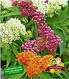 BALDUR-Garten Seidenpflanze'Butterfly Mix',3 Knollen