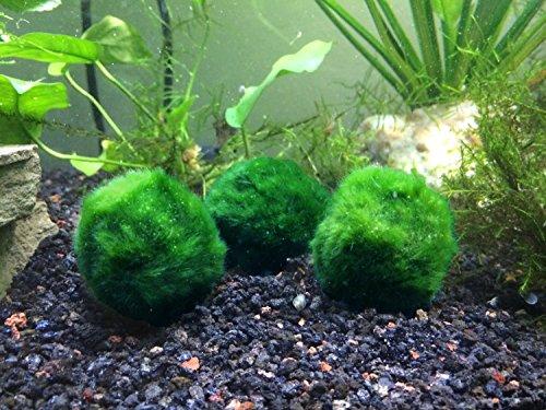 Aquatic Arts B Grade Giant Marimo Moss Balls