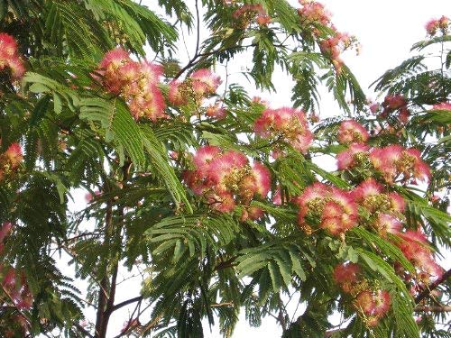 Mimosenbaum/Seidenbaum (Albizia julibrissin) 10 Samen -Selten-