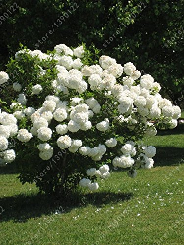 20 graines / sac de graines de hortensia, hydrangea Chine, graines de fleurs d'hortensia, 12 couleurs, croissance naturelle pour la plantation de jardin à la maison 8