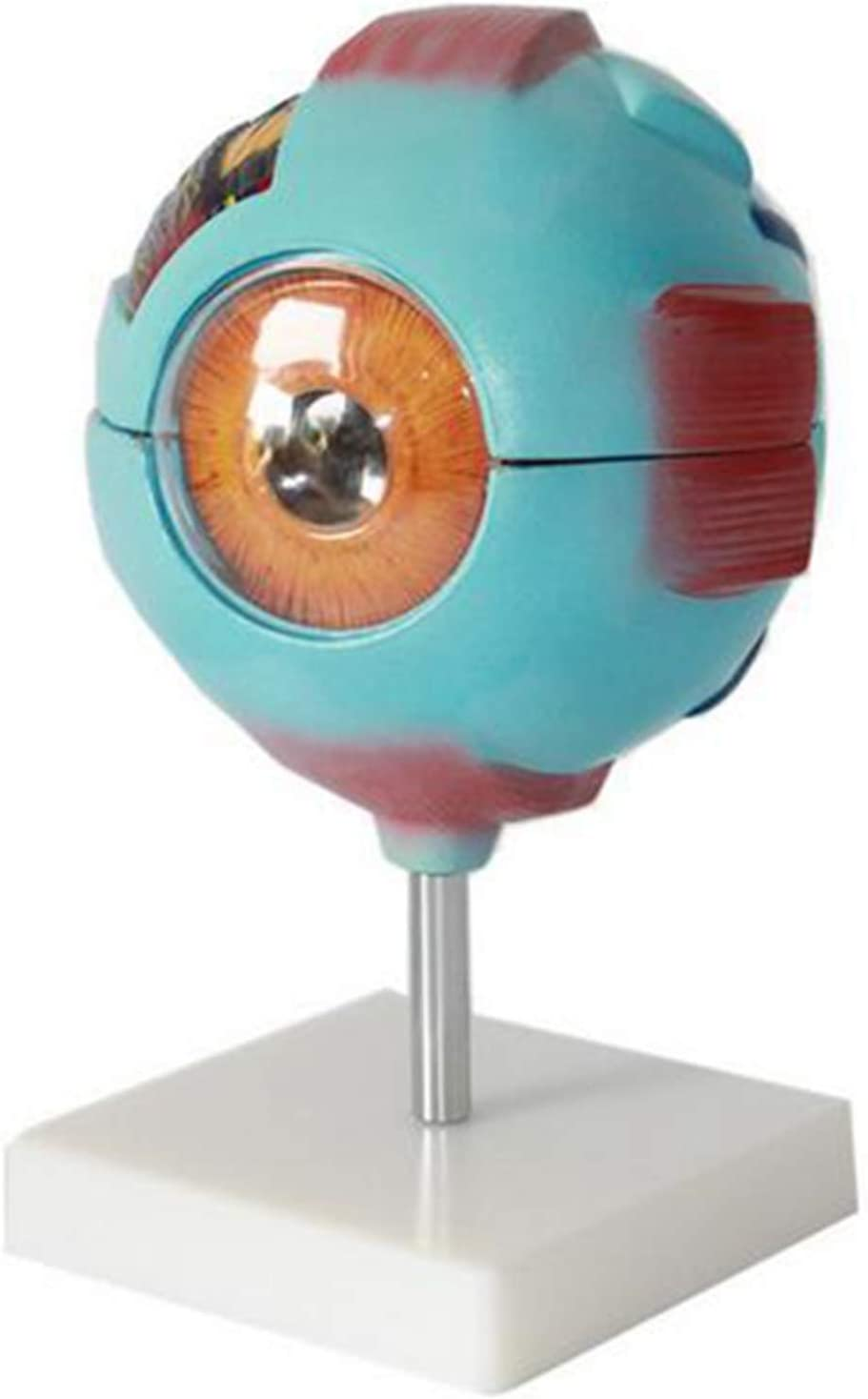XYXZ Anatomy Model 6X Enlarged Eye Austin Mall Human Anatomical Mode OFFicial shop Anatom