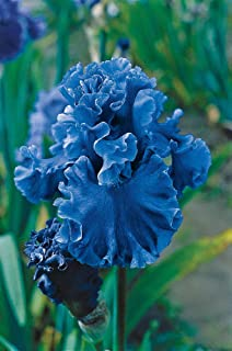 Breck's Bulbs and Perennials - Sea Power Iris - Wavy Cornflower Blue Flowers. Includes one Rhizome per Order