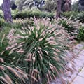 Chinese Fountain Grass Seeds