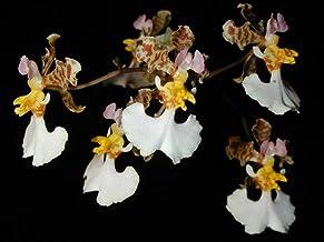 Andy`s Orchids - Oncidium (Tolumnia) tetrapetalum - Orchid Plant - Miniature - Easy-Grower - Indigenous to Jamaica