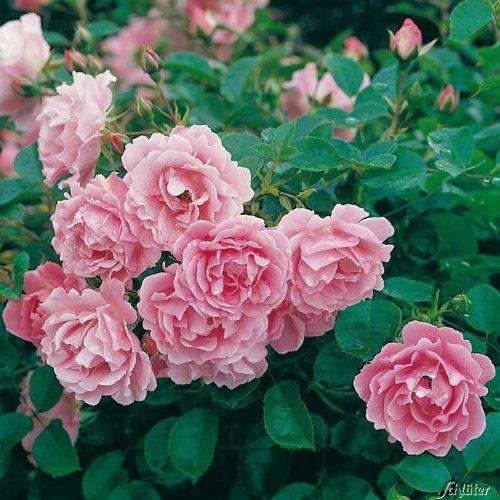Rose Sommerwind- Bodendeckerrose reinrosanen Blüten - Kleinstrauchrose Pflanze Winterhart Halbschattig von Garten Schlüter - Pflanzen in Top Qualität