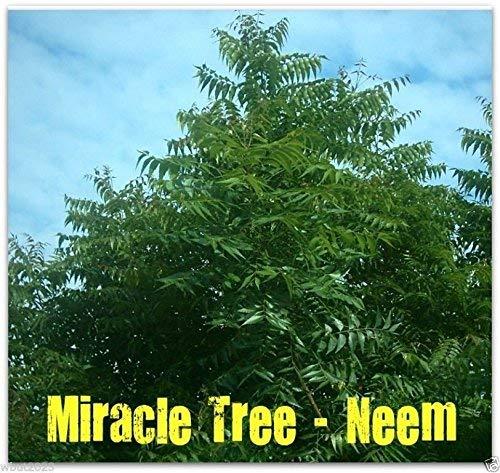5 Semillas - semillas Plant Neem (Azadirachta indica) de crecimiento rápido-hojas, frutos, semillas son comestibles