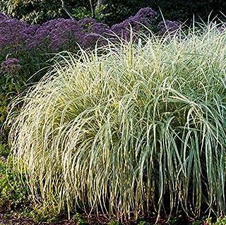 miscanthus sinensis variegatus (Rooted Starter Plant) 136178